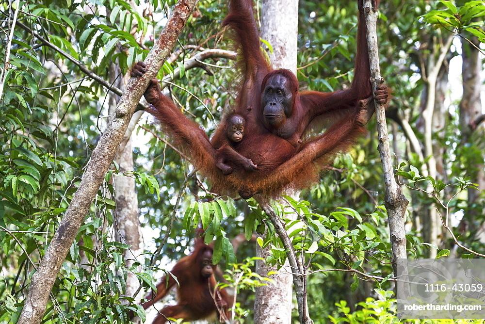 Bornean Orangutan (Pongo Pygmaeus) Mother And Infant At Tangung Harapan, Tanjung Puting National Park, Central Kalimantan, Borneo, Indonesia