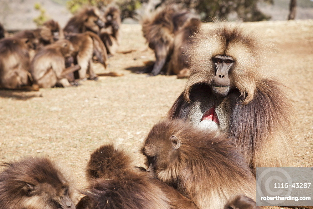 Male Gelada Baboon And Female Harem, Simien Mountains National Park, Simien Mountains, Gondar Province, Amhara Region, Ethiopia