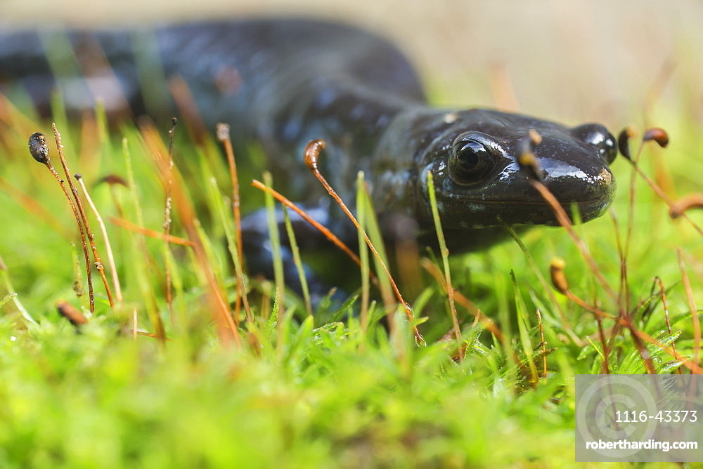 Blue-Spotted Salamander (Ambystoma Laterale) Crawling Over Moss, Ontario, Canada