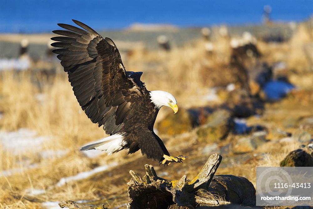 Bald Eagle (Haliaeetus Leucocephalus) Landing On Driftwood, Homer, Alaska, United States Of America