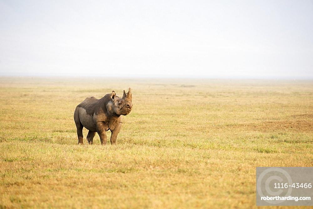 Black Rhinoceros Sniffing The Breeze In Ngorongoro Crater, Tanzania