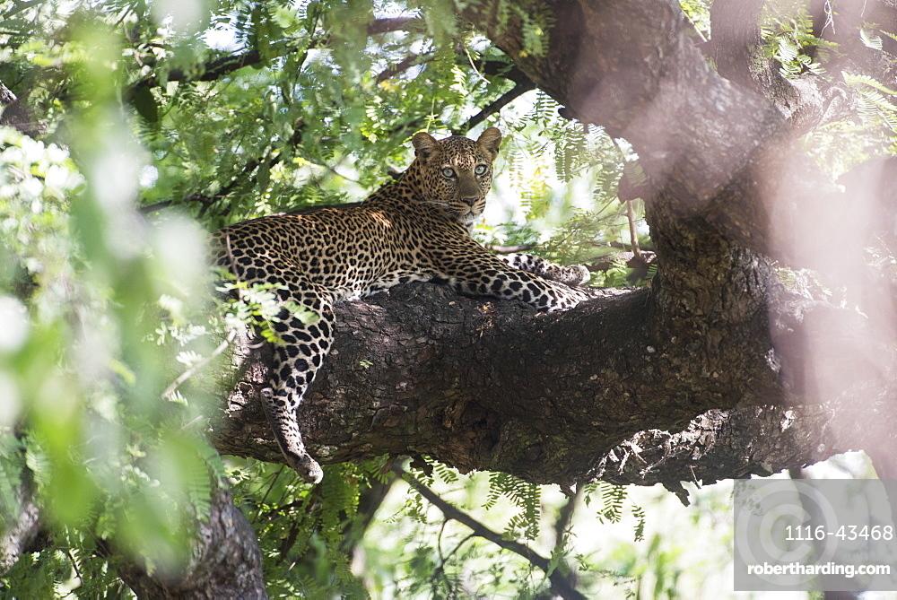 Leopard Resting In Tree In Lake Manyara National Park, Tanzania