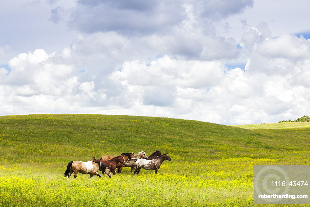 Horses In A Field, Winnipeg, Manitoba, Canada