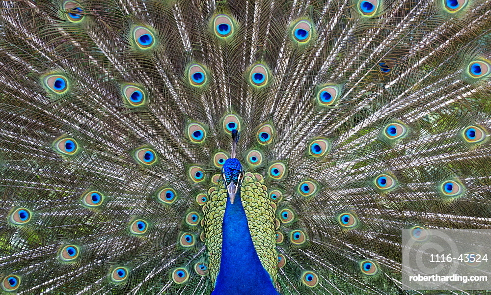 Peacock In Full Display Mode Attempting To Attract A Mate, Santa Cruz, Bolivia