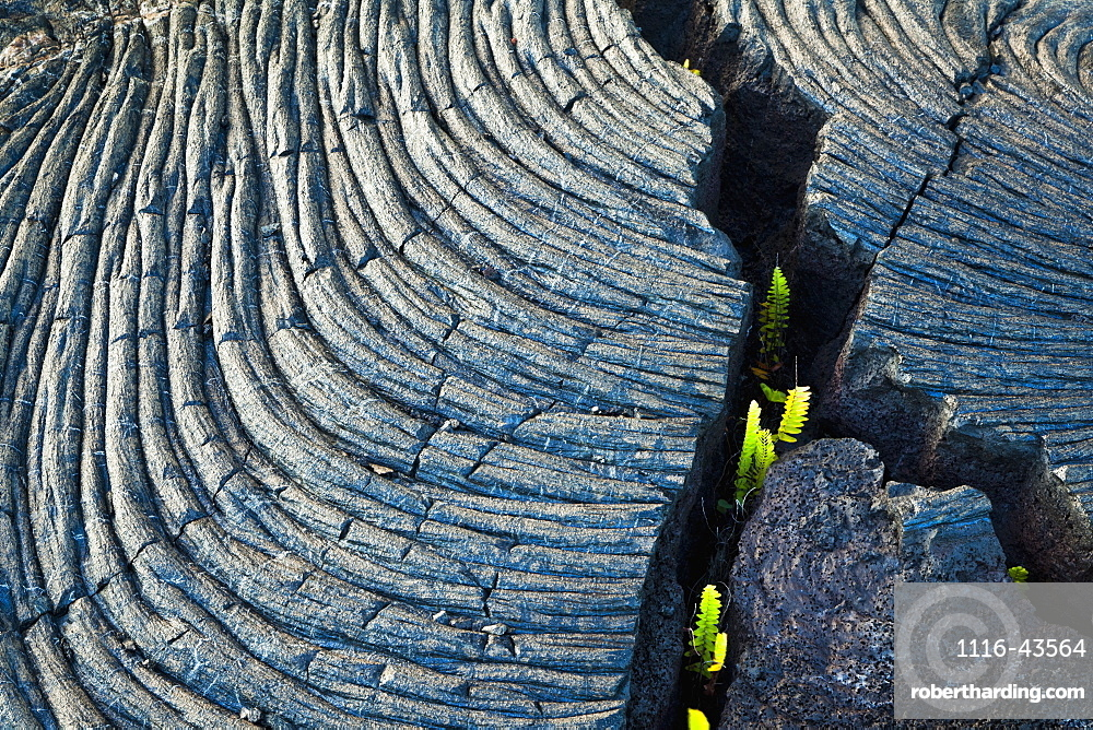 Fresh Green Ferns Growing Through A Crack Of Kalauea Lava Flow, Roping And Banding Pahoehoe, At Kalapana Gardens Subdivision, Island Of Hawaii, Hawaii, United States Of America