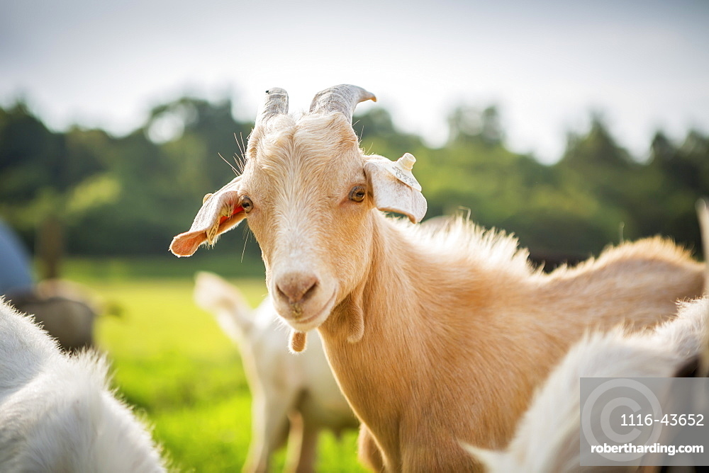 Goat Portrait, Keedysville, Maryland, United States Of America