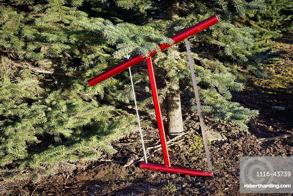 Cutting A Fresh Christmas Tree, Chilliwack, British Columbia, Canada