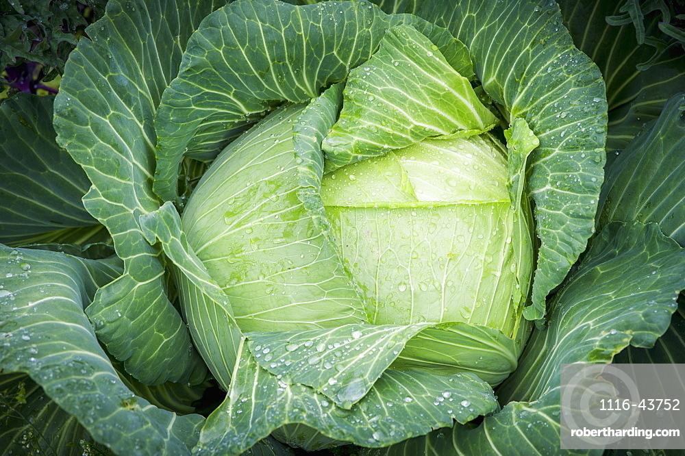 Cabbage (Brassica Oleracea) Covered In Dew, Fairbanks, Alaska, United States Of America