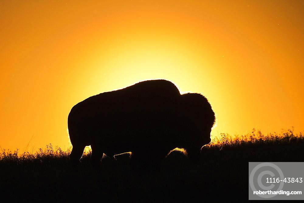 Silhouette Of A Bison At Sunset, Grasslands National Park, Saskatchewan, Canada