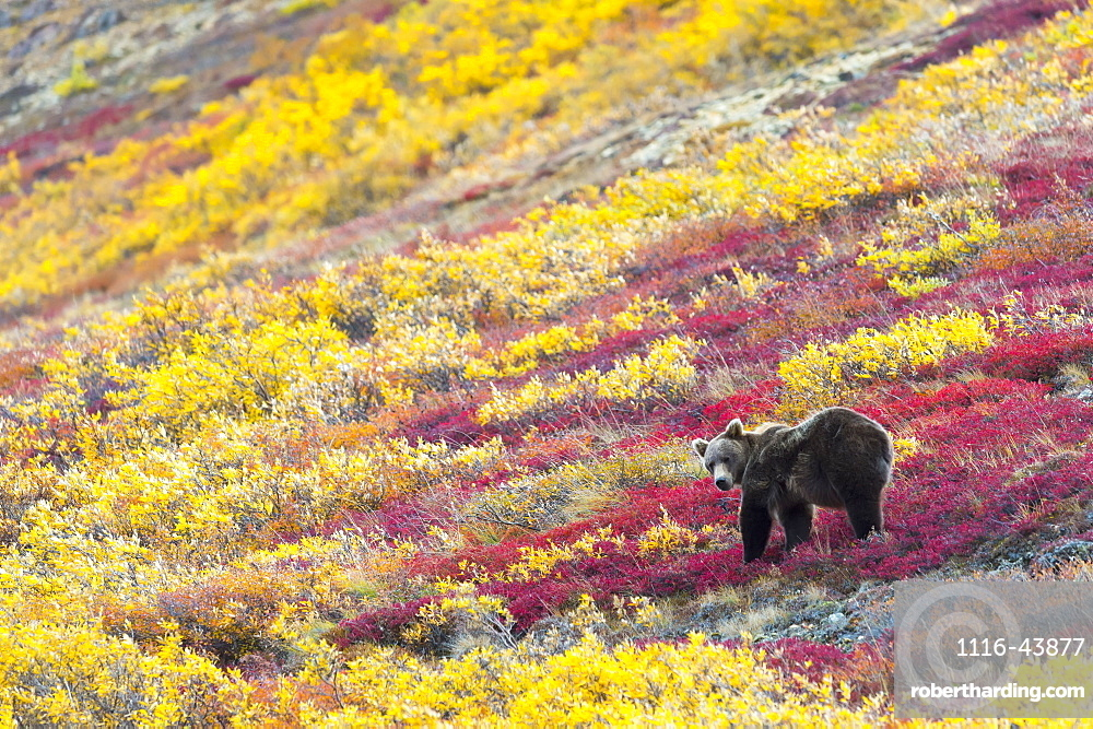 Grizzly Bear (Ursus Arctos Horribilis) Eating The Last Berries In Autumn, Denali, Alaska, United States Of America