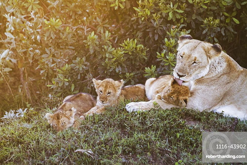East African Lioness (Panthera Leo Nubica) And Her Cubs At Dusk, Mara Naboisho Conservancy, Kenya