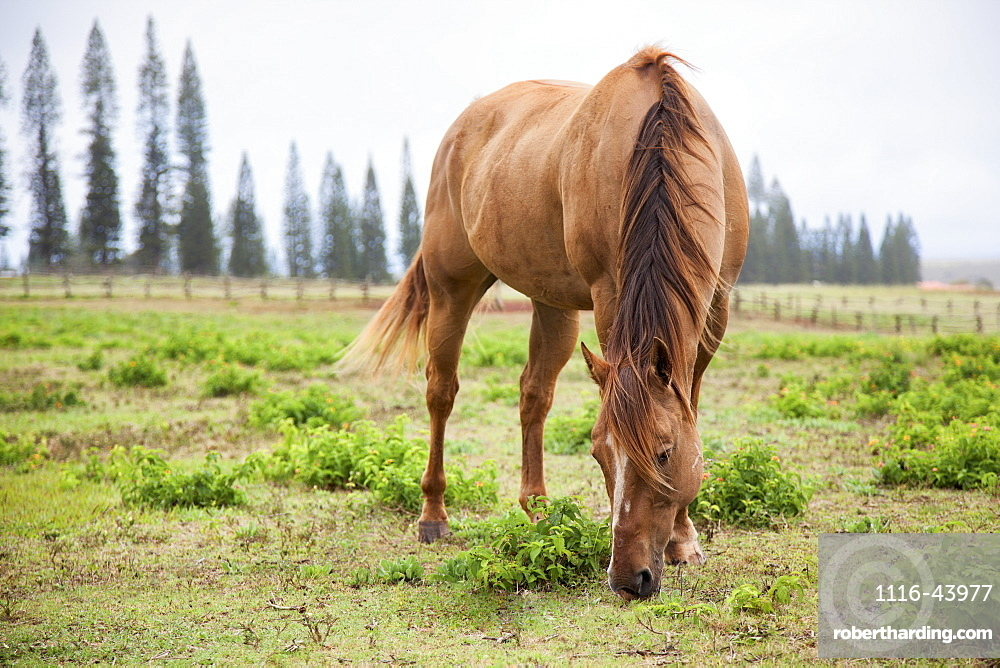 A Horse Grazes At Koele Stables, Lanai, Hawaii, United States Of America