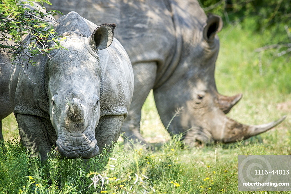 A Pair Of Rhinoceros (Rhinocerotidae) On The Dinokeng Game Reserve, South Africa