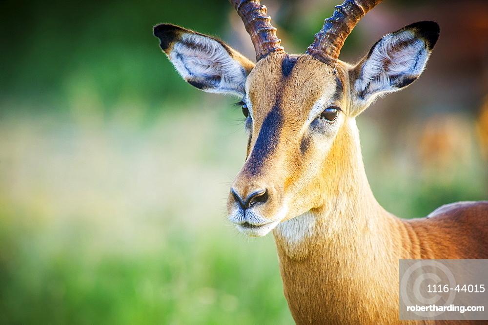 Impala (Aepyceros Melampus), Kruger National Park, South Africa
