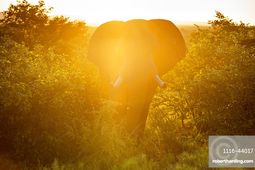 African Elephant (Loxodonta), Kruger National Park, South Africa
