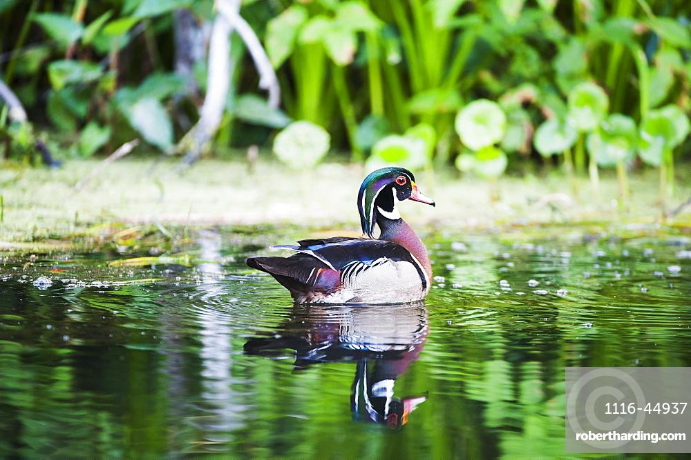 Carolina Duck (Aix Sponsa)