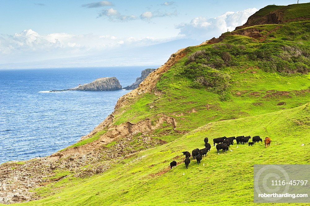 A Herd Of Cattle Graze Along The Northwestern Coast Of Maui, Maui, Hawaii, United States Of America