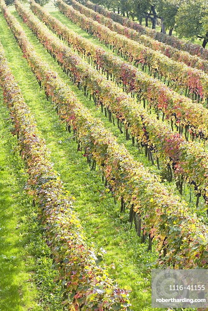 Grapevines In Autumn, Spitz, Austria