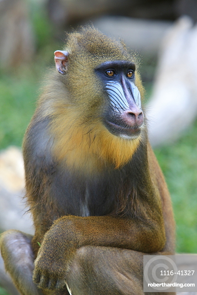 Buenos Aires, Argentina, Mandrill (Mandrillus Sphinx), From Nigeria And Congo, In The Palermo Zoological Gardens
