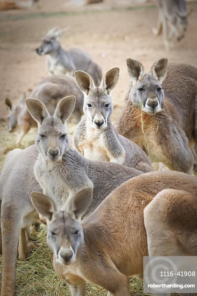 Kangaroos, Waga waga australia