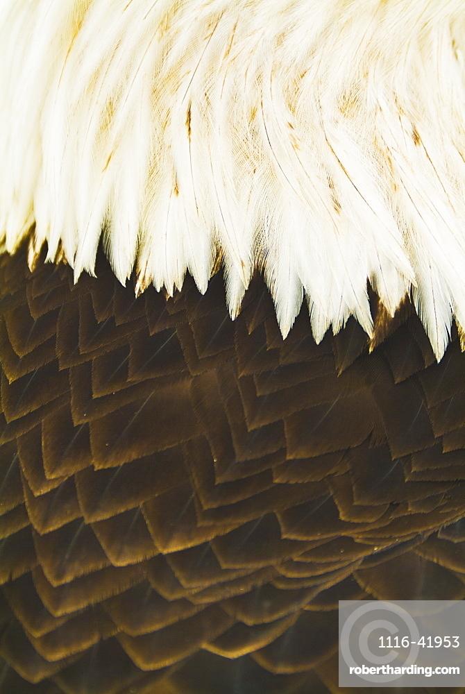 A close-up shot of the back of a live bald eagle, Homer alaska united states of america