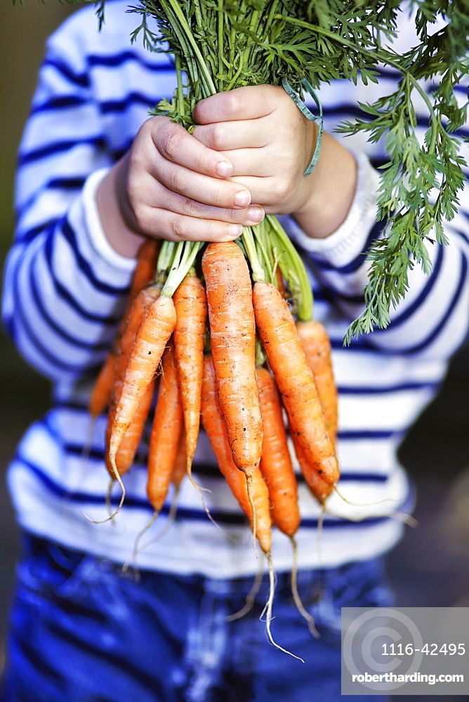 Young Boy Holding A Bunch Of Organic Carrots, Montreal, Quebec, Canada