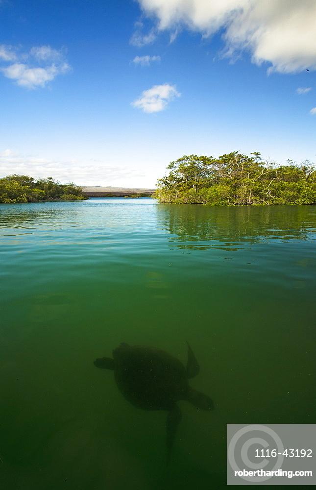 Pacific Green Turtle Swimming In Mangroves, Isabela Island, Galapagos Islands, Ecuador