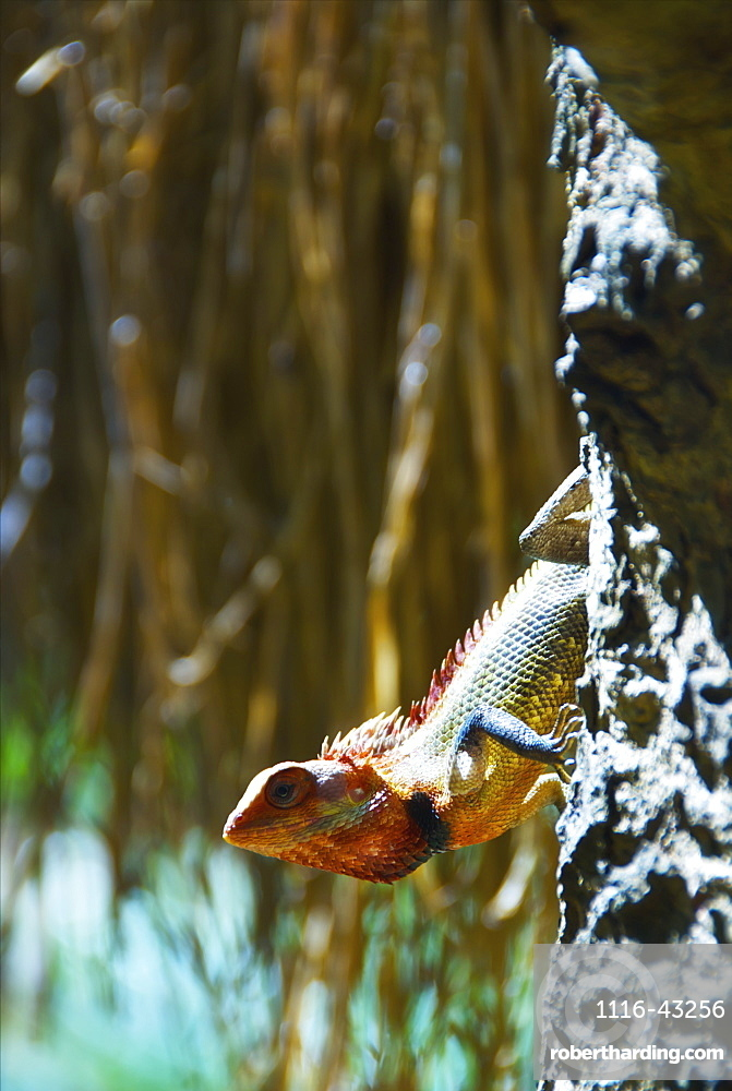 A Lizard On A Tree Trunk, Ulpotha, Embogama, Sri Lanka