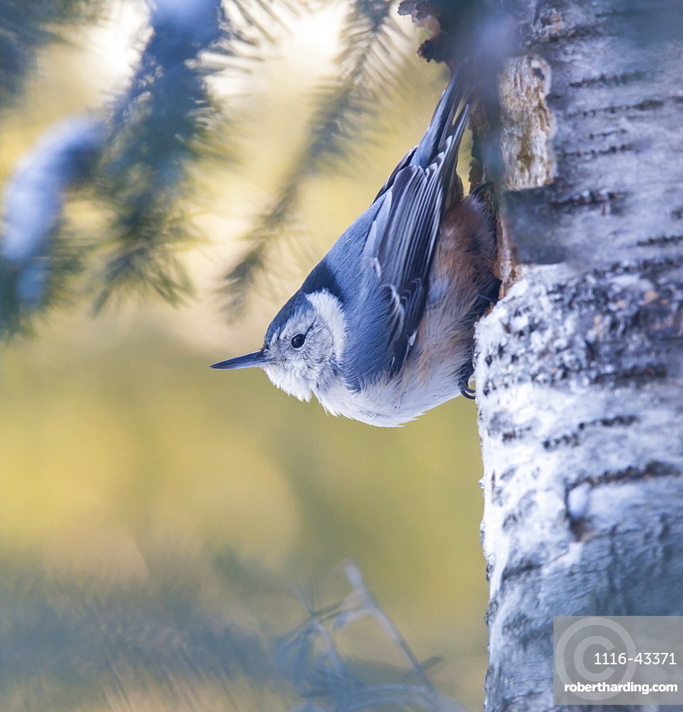 White-Breasted Nuthatch (Sitta Carolinensis), Ontario, Canada