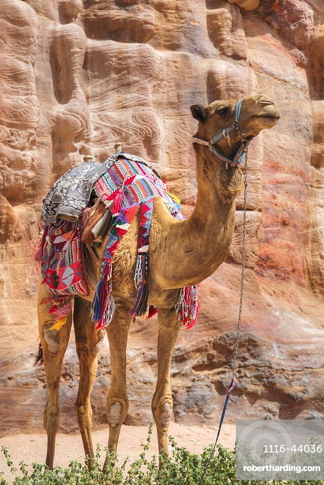 Camel, Wadi Musa, Petra, Jordan