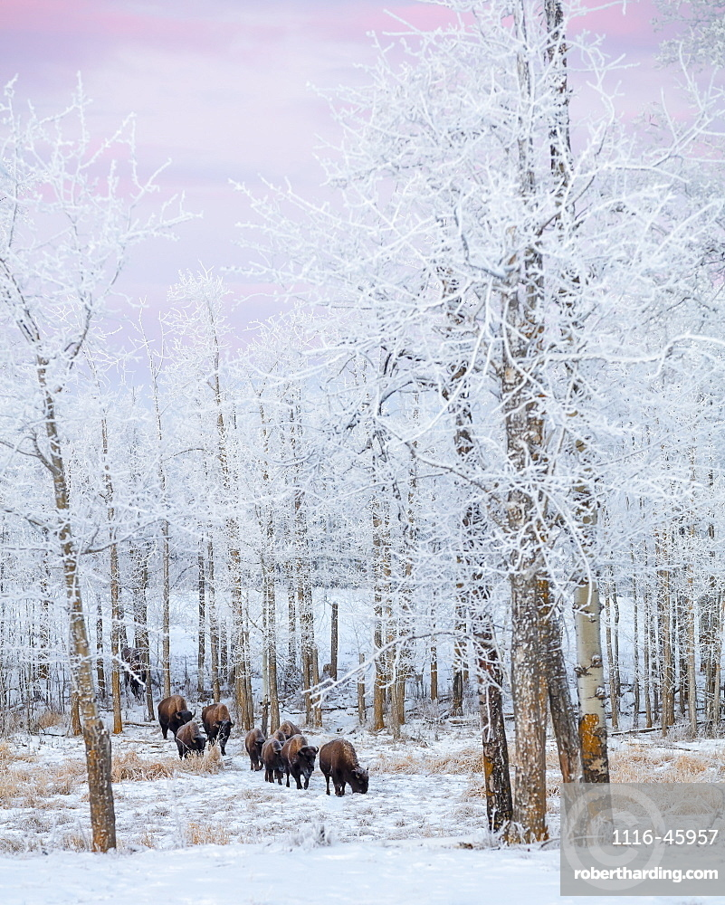 Bison Walking In The Early Morning Through The Snow, Elk Island National Park, Alberta, Canada