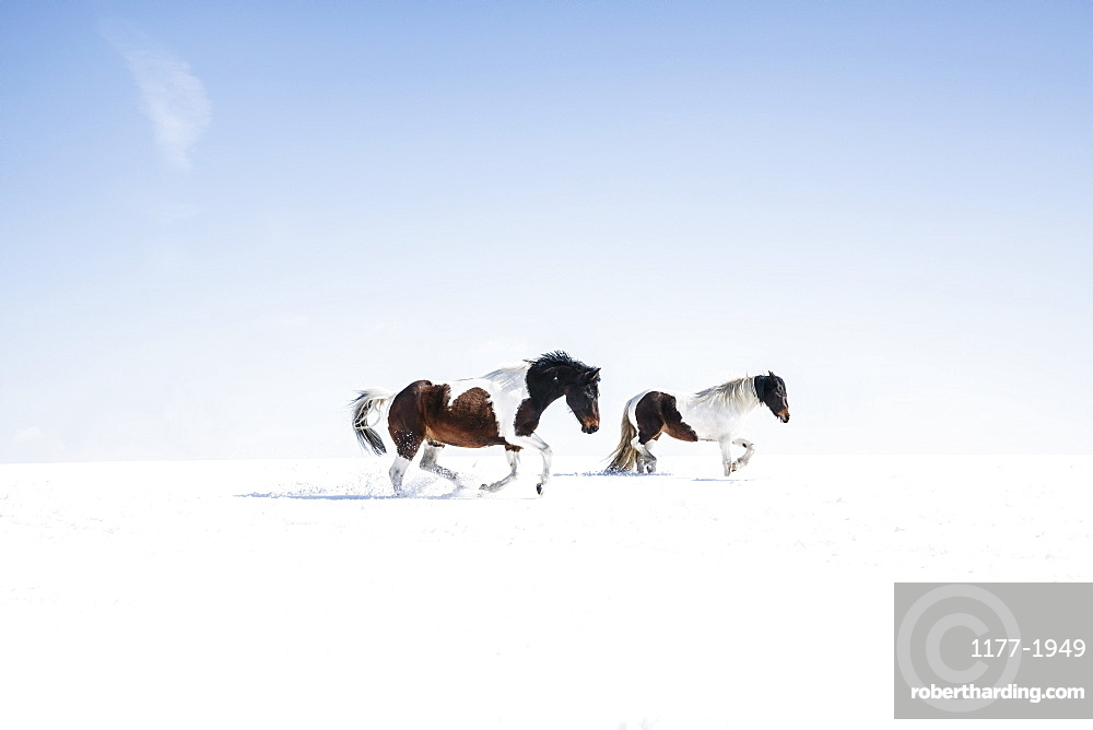 Brown and white horses running in sunny, snowy field
