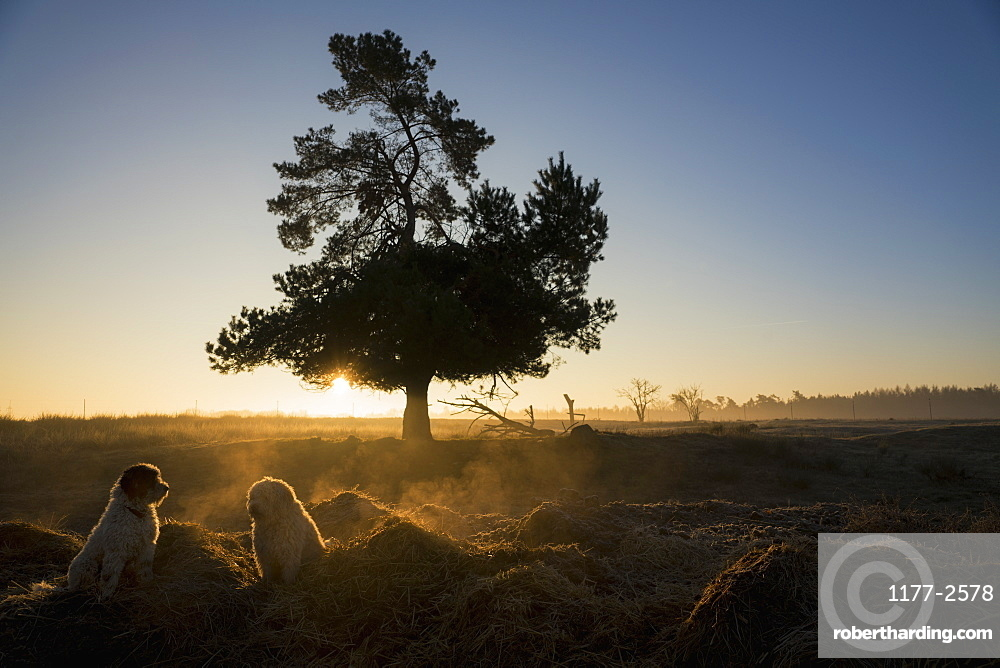 Dogs in idyllic field at sunset, Wiendorf, Mecklenburg, Germany