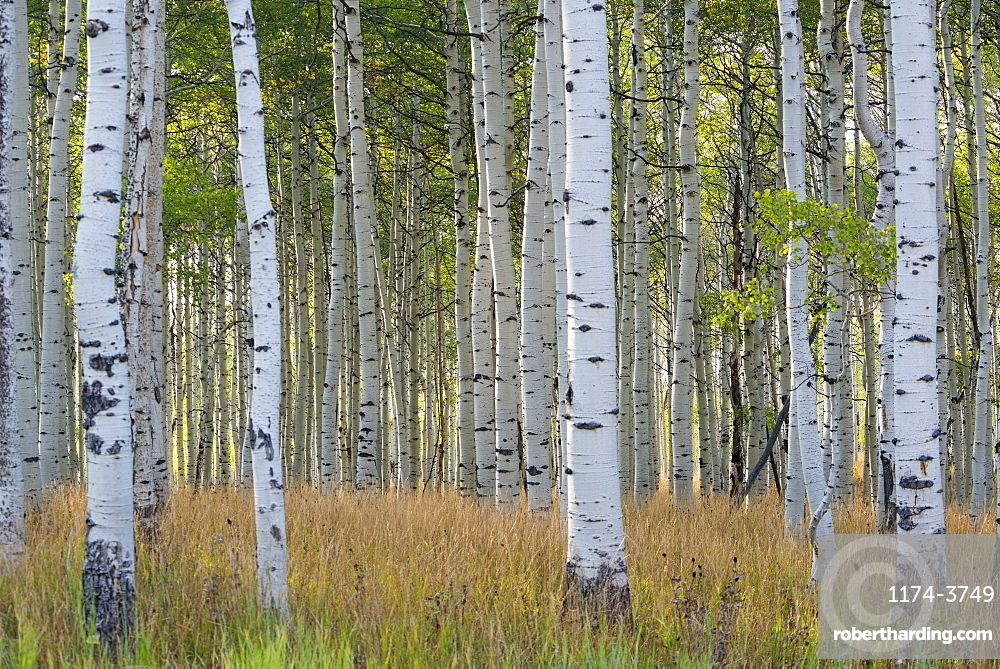 The tall straight trunks of trees in the forests with pale grey bark and green foliage, Wasatch Mountains, Utah, USA