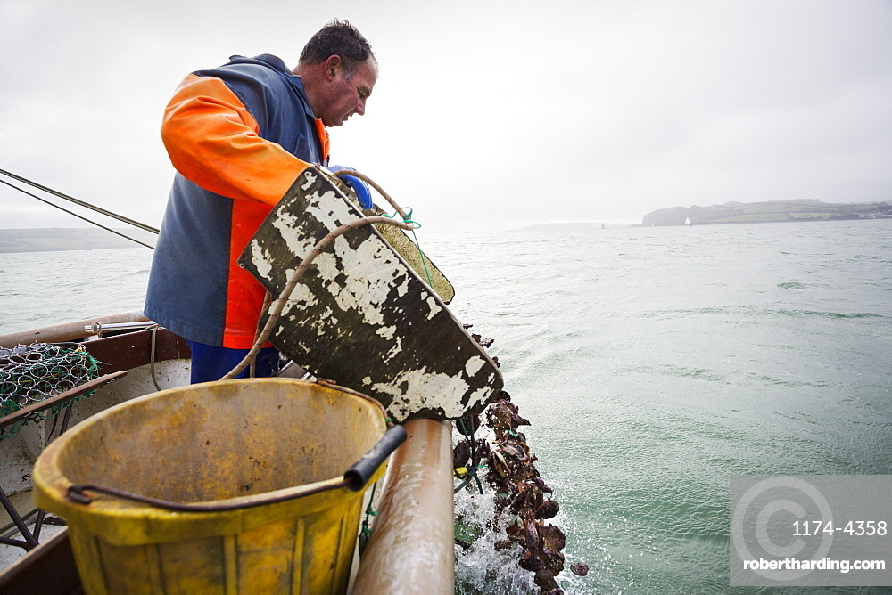 Traditional Sustainable Oyster Fishing, River Fal, A fisherman tipping shells into the water, Fal Estuary, Cornwall, England
