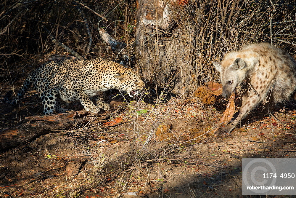 A leopard, Panthera pardus, bends down and snarls at a hyena, Crocuta crocuta eating a carcass, Londolozi Game Reserve, Sabi Sands, Greater Kruger National Park, South Africa
