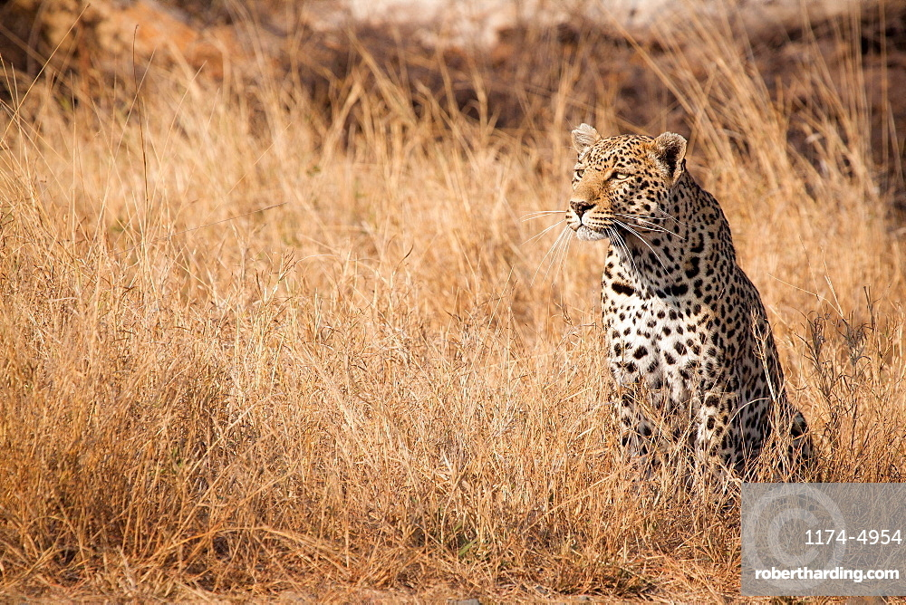 A leopard, Panthera pardus, sits in tall dry yellow grass looking around, ears facing forward, Londolozi Game Reserve, Sabi Sands, Greater Kruger National Park, South Africa