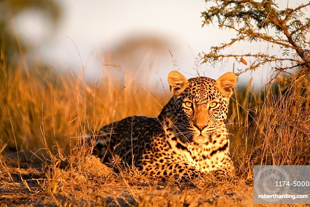A leopard, Panthera pardus, lies on the ground in the sunlight, alert, ears forward, Londolozi Game Reserve, Sabi Sands, Greater Kruger National Park, South Africa