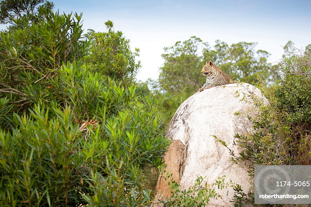 A leopard, Panthera pardus, lies on a large boulders, looking away, head up, greenery in foreground, Londolozi Game Reserve, Sabi Sands, Greater Kruger National Park, South Africa