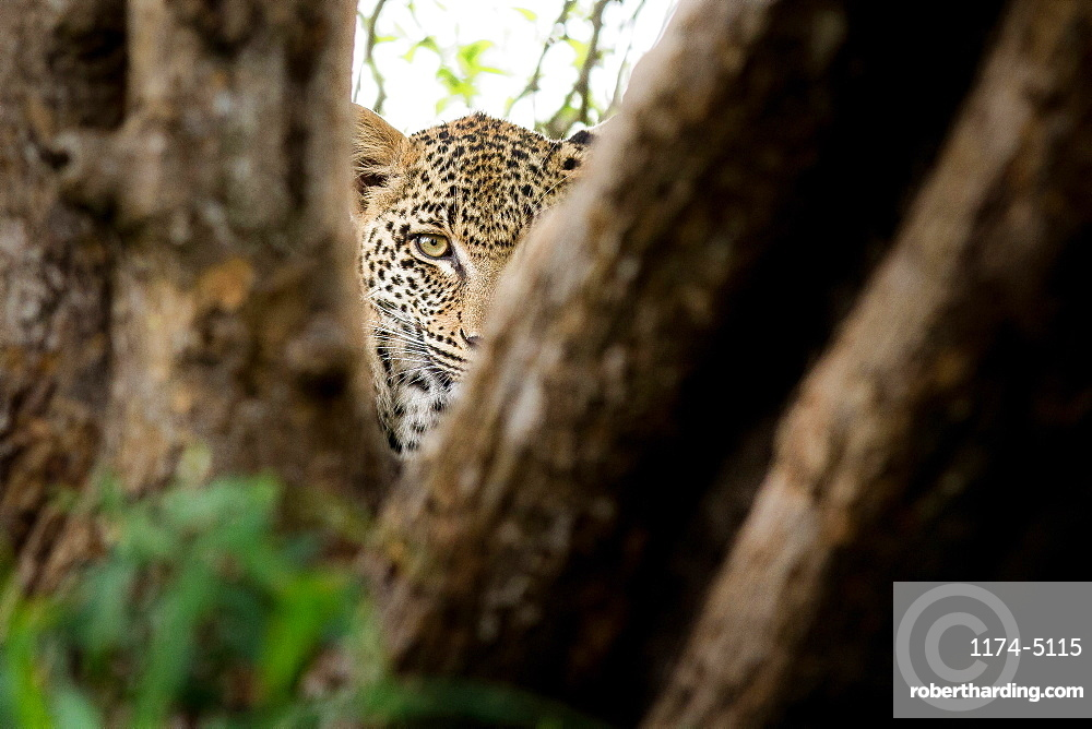 A leopard's head, Panthera pardus, direct gaze between two tree branches, one eye, Londolozi Game Reserve, Sabi Sands, Greater Kruger National Park, South Africa