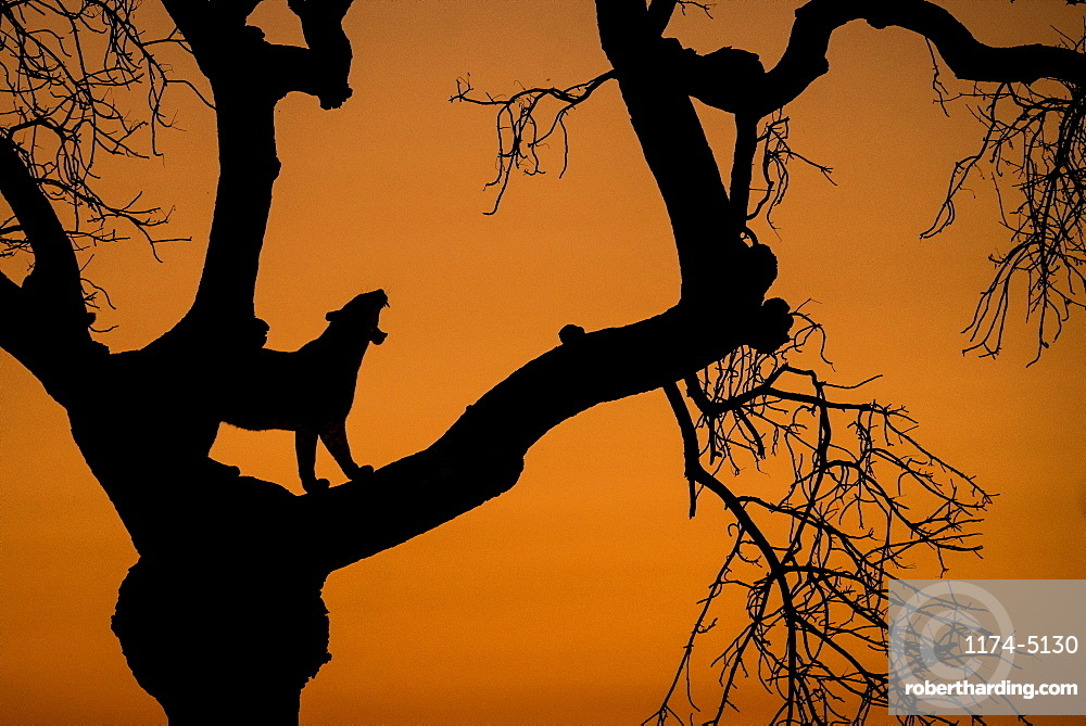 A silhouette of a leopard, Panthera pardus, standing in the fork of a tree, yawning showing teeth, against orange sunset sky, Londolozi Game Reserve, Sabi Sands, Greater Kruger National Park, South Africa