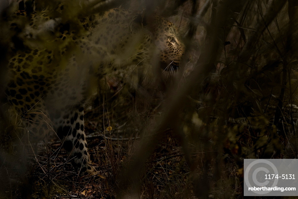 A leopard, Panthera pardus, walks through the bush, looking away, sunlight on eye, branches in foreground, Londolozi Game Reserve, Sabi Sands, Greater Kruger National Park, South Africa