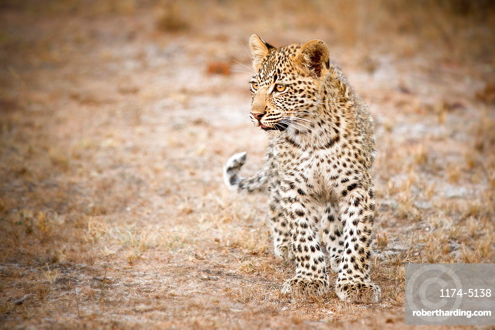 A leopard cub, Panthera pardus, stands in short grass, looking away, brown yellow eyes, Londolozi Game Reserve, Sabi Sands, Greater Kruger National Park, South Africa
