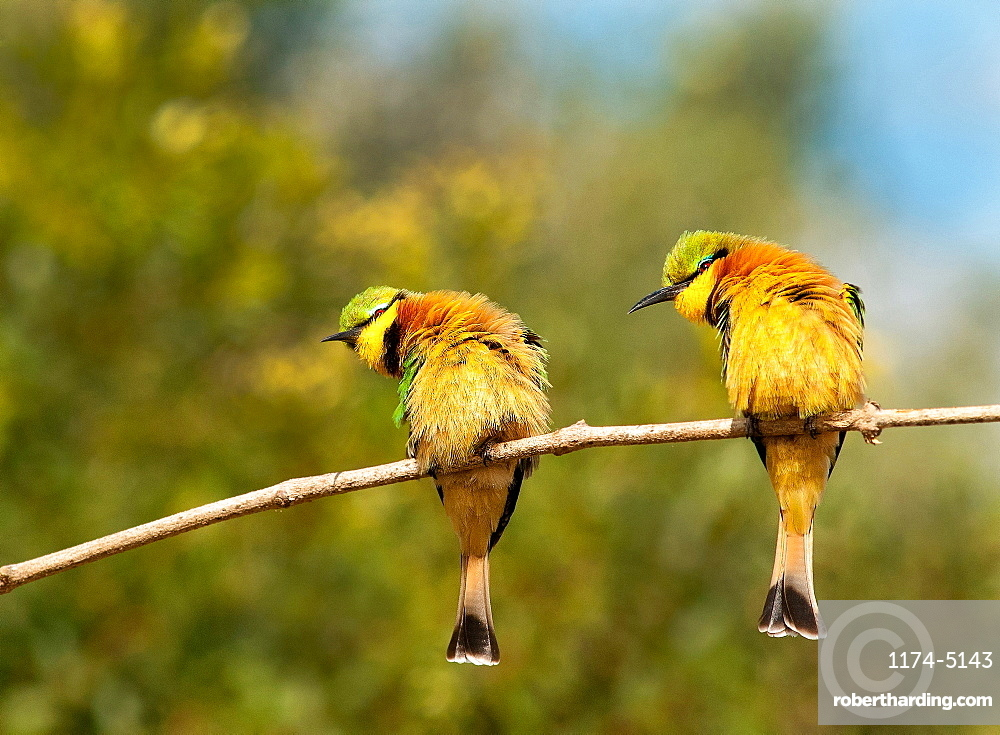 Two little bee-eaters, Merops pusillus, perch on a thin branch, both lean left, puffed up feathers, Londolozi Game Reserve, Sabi Sands, Greater Kruger National Park, South Africa