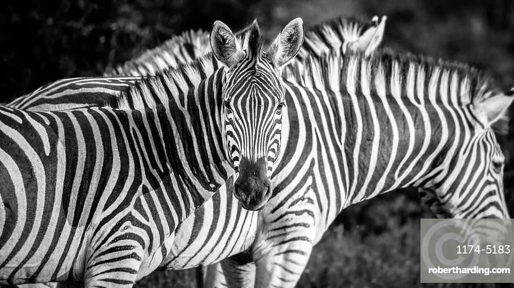 A zebra, Equus quagga, alert, zebra in background, ears forward, in black and white, Londolozi Game Reserve, Sabi Sands, Greater Kruger National Park, South Africa