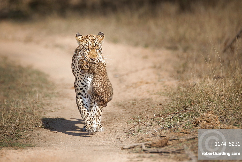 A mother leopard, Panthera pardus, carries her cub in her mouth towards the camera, ears back, along game path, Londolozi Game Reserve, Sabi Sands, Greater Kruger National Park, South Africa