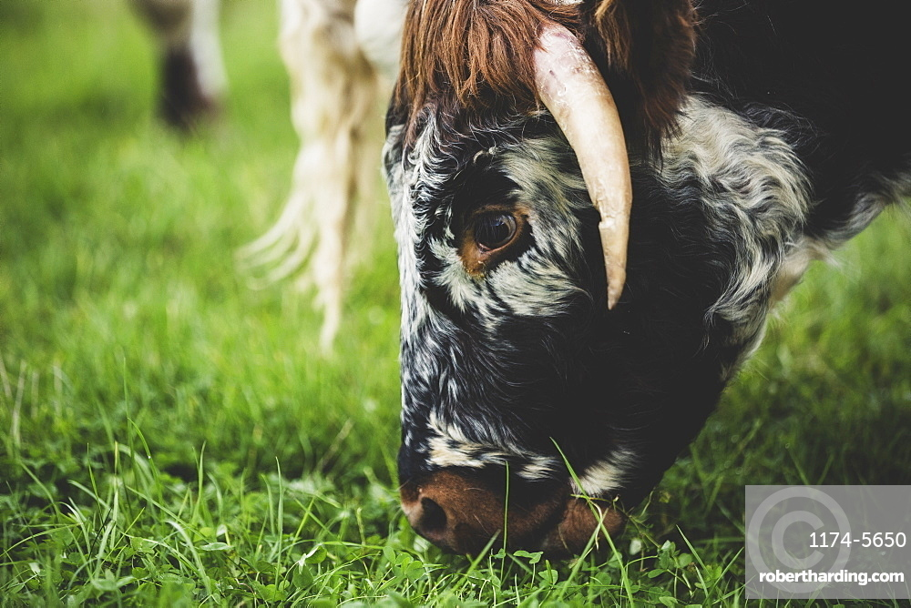 Close up of English Longhorn cow grazing on a pasture, Oxfordshire, England