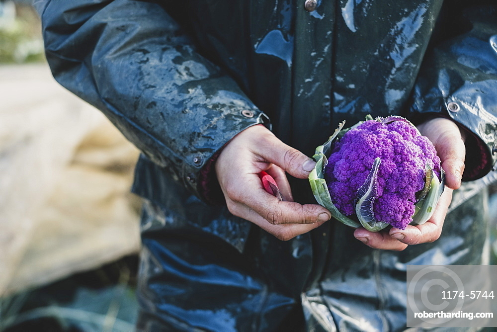 High angle close up of person holding freshly harvested purple cauliflower, Oxfordshire, England