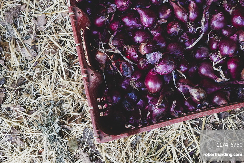 High angle close up of freshly harvested red onions in plastic crate, Oxfordshire, England