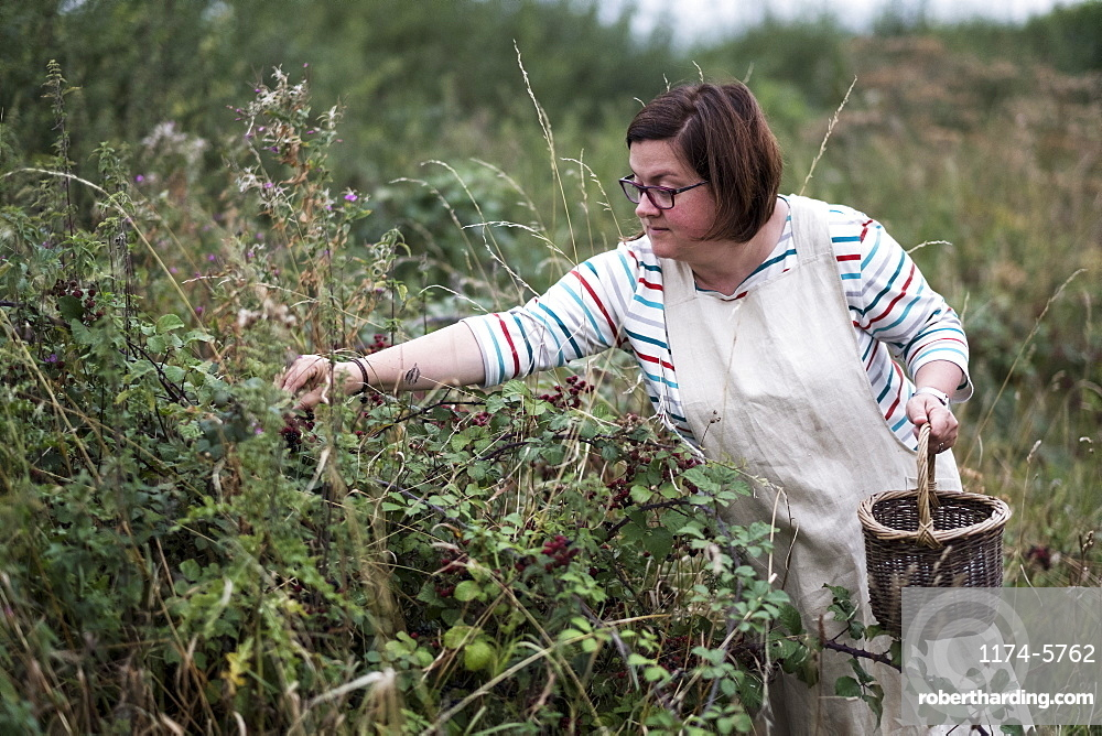 Woman wearing apron holding brown wicker basket, picking blackberries, Oxfordshire, England
